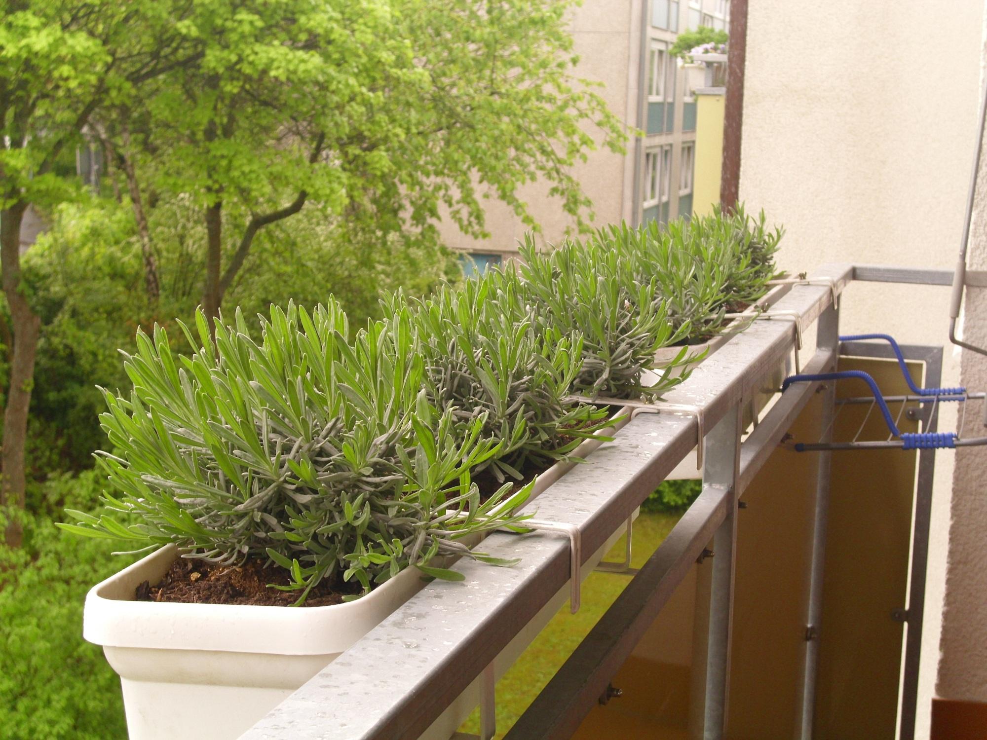 lavendel pflanzen balkon lavendel auf dem balkon kultivieren so gedeiht er am besten lavendel. Black Bedroom Furniture Sets. Home Design Ideas